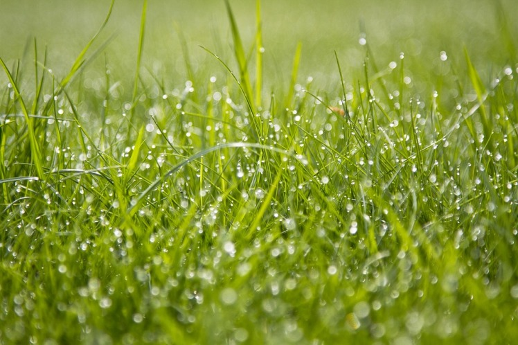 Grass - Dew.jpg